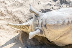 Close-up top view of white rhino lying on sand. Endangered species rescue and protection concept royalty free stock images
