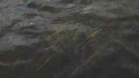 Close up top view for yellow sea weed swaying under dark water of a stream. Footage. Grass growing under water of a fast stock video footage