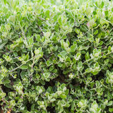Close up of topiary Royalty Free Stock Photography