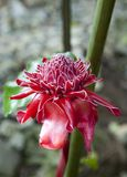 Close up of Torch ginger  Etlingera elatior, Family Zingiberaceae also known as red ginger lily blossom on Cuba, Soroa Garden Royalty Free Stock Photography