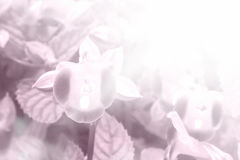 Close up of  Torenia flower blossom in color filter Royalty Free Stock Images