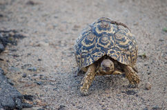 Close up of tortoise Royalty Free Stock Photo