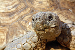 Close up of a tortoise's head Stock Photography