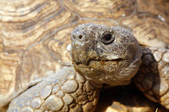 Close up of a tortoise's head and eyes Royalty Free Stock Image