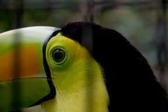 Close up of toucan Stock Photos