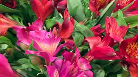 Close up tracking shot of red and purple alstroemerias flowers