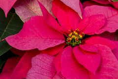Traditional red poinsettias Christmas flowering plant Stock Photos