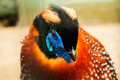 Close-up Tragopan pheasant portrait Stock Images