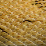 Close-up of Trans-Pecos rat snake scales Royalty Free Stock Photo