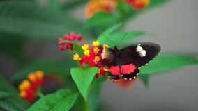 Close-up Transandean cattleheart, Parides iphidamas black and red butterfly flaps wings on yellow and red flower on stock footage