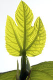 Close up of translucent fig leaf Royalty Free Stock Photos