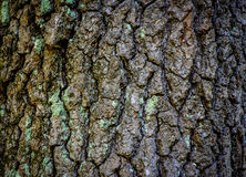 Close up of Tree Bark Background. Close up of a tree and it's bark for background texture Royalty Free Stock Photography
