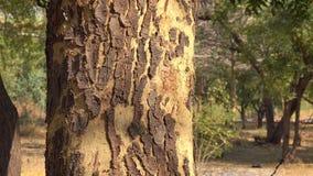 Close up, tree bark. In Bagan, Myanmar stock footage
