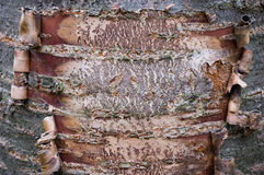 Close up on tree bark coiled on the side. The tree bark is coiling up on the sides of the tree Royalty Free Stock Photo