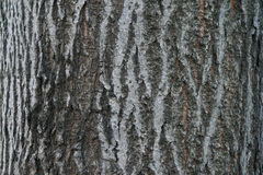 Close up of tree bark details - background or texture. Tree bark in small details Royalty Free Stock Images