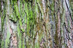 Close up of the tree bark with green moss Royalty Free Stock Photography