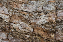 Close up of tree bark Royalty Free Stock Photo