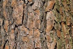 Close up on tree bark Royalty Free Stock Image