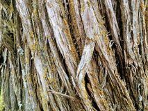 Close up tree bark texture of background in Oquirrh Mountains on the Wasatch Front in Salt Lake County Utah USA. Royalty Free Stock Photography