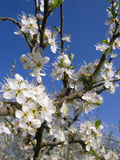Close up tree blossoms against blue sky Royalty Free Stock Photos