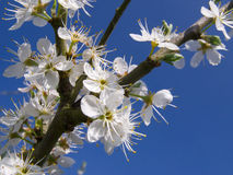 Close up tree blossoms against blue sky Stock Photo