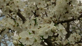 Close up of tree blossoms. In spring,  branch of tree with white blossoms,bees collecting nectar, spring concept, pan stock video