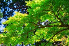 Close up of tree branch with bright green leaves. On a sunny day.  Point Defiance Park Stock Image
