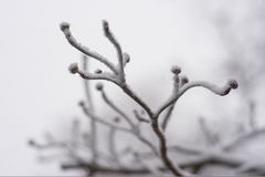 Close up of tree branch with buds in winter. Close up of tree branch with buds covered with snow Stock Photos
