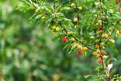 Ripening Chinese apple or Malus prunifolia Royalty Free Stock Images