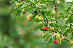 Ripening Chinese apple or Malus prunifolia Stock Photography