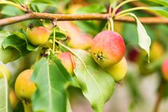 Ripening Chinese apple or Malus prunifolia Royalty Free Stock Photo