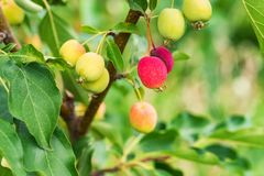 Ripening Chinese apple or Malus prunifolia Royalty Free Stock Image