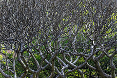 Close Up of tree branches without leaves die a horrible drought. Royalty Free Stock Photo