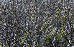 Close Up of tree branches without leaves die a horrible drought. Royalty Free Stock Image