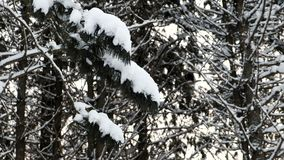 Close-up of tree branches in snow in winter forest. Close-up of tree branches in snow in winter forest stock footage