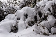 Snowy trees in winter forest. A close up of a tree covered in fresh driven snow in a winter forest Stock Photos