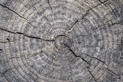 Close up of a tree cut stemp. Absrtact wood background royalty free stock image