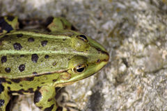 Close up of a tree frog Royalty Free Stock Image