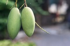Close up tree with green mango fruit Royalty Free Stock Photography