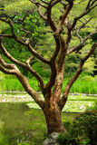 Close up of Tree in Japanese Garden in Kyoto. Close up of a tree in a Japanese Garden in Kyoto Japan. Tree is situated by a lilly pond Stock Photo