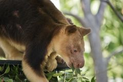 A tree kangaroo. This is a  close up of a tree kangaroo eating leaves Stock Images