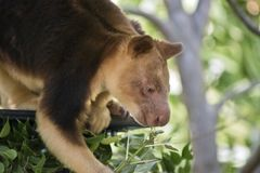 A tree kangaroo. This is a  close up of a tree kangaroo Stock Photo