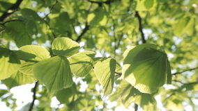 Close-up of Tree Leaves stock video footage