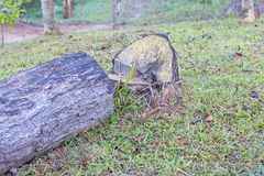 A tree log trunks on grass ready for cutting Royalty Free Stock Image