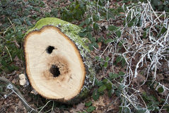 Close up of Tree Rings on Felled Stump Royalty Free Stock Photos