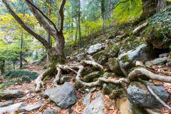 Tree roots on rocky ground in forest. Close up of tree roots growing on rocky ground in sunny forest royalty free stock photo