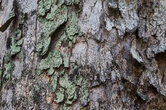 Tree Bark Texture. Close up of a tree`s bark cracking, peeling and over grown with algae Stock Photos