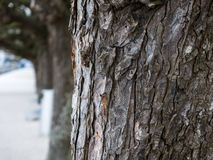 Close-up of a tree's bark. A close-up of one tree with more in the background Stock Photography