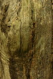 Close up of tree trunk. Showing details of bark Royalty Free Stock Photo