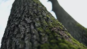 Close-up of tree trunk, bark of old tall trees in forest covered with green moss. Handheld panning shot, bark texture stock video